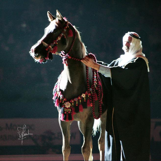 Восхитительные арабские лошади совсем скоро в Санкт- Петербурге!